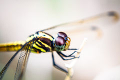 Dragon fly Royalty Free Stock Photo