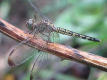 Dragon fly on a branch. Close up photo of a dragon fly on a brown branch stock image