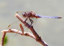 The dragon fly Stock Photos
