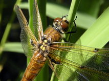 Dragon-fly Stock Image