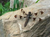 Dragon fly. A brown dragon fly sitting on a rock Stock Photo