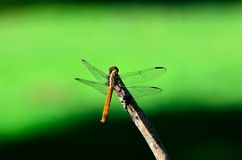 Dragon Fly. Close Up Of A Dragon Fly Stock Photo