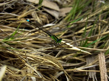 Dragon-fly Close Up Stock Photo