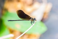 Dragon fly close up Stock Images