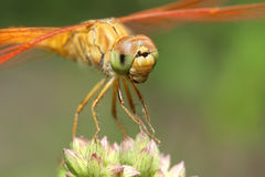 Dragon fly closeup Stock Photo