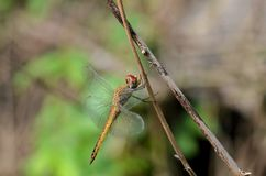 Dragon fly  in a closeup photography Stock Images