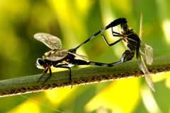 Dragon fly couple Stock Image