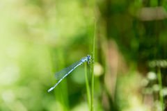 Dragon Fly, damselfly azul común Imagen de archivo libre de regalías