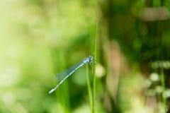Dragon Fly, damselfly azul comum imagem de stock royalty free
