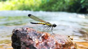 Dragon fly. Dav dragon fly yellow stream rock nature insects flys beautiful macroshot closeup india stock photos
