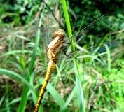 Dragon Fly dourado na grama na luz de Sun Foto de Stock