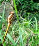 Dragon Fly dourado na grama na luz de Sun Imagem de Stock Royalty Free