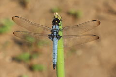 Dragon Fly, Drachefliege Stockbild