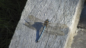 Dragon fly. Dragonfly enjoys freedom on the edge of moss stock photos
