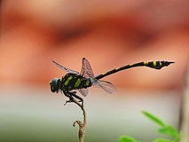 Dragon Fly. A dragonfly is an insect belonging to the order Odonata, the suborder Epiprocta or, in the strict sense, the infraorder Anisoptera royalty free stock image