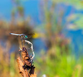 Dragon Fly on Dry Plant at Pond Royalty Free Stock Photography