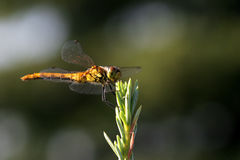 Dragon Fly Eat Silver Cedar Royalty Free Stock Image