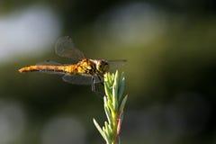 Dragon fly eat silver cedar Royalty Free Stock Image