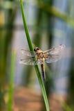 Dragon Fly, el realmente grande Foto de archivo