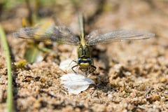 Dragon Fly, el realmente grande Foto de archivo libre de regalías