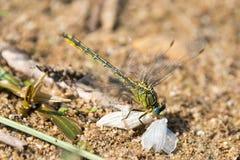 Dragon Fly, el realmente grande Fotos de archivo libres de regalías