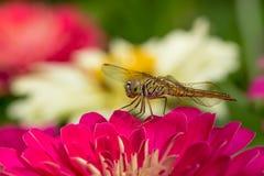 Dragon Fly en la flor rosada Imagen de archivo