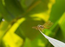 Dragon Fly en la hoja del plátano imagen de archivo