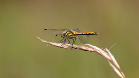 Dragon-fly female Sympetrum danae Royalty Free Stock Photos