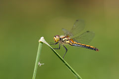 Dragon-fly female Sympetrum danae Stock Photos