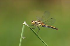 Dragon-fly female Sympetrum danae stock photos