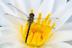 Dragon fly on flower. A dragon fly sitting on a water lily stock photo