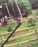 Dragon Fly Getting um passeio imagem de stock