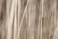 Dragon-fly in grass. Beige grass Royalty Free Stock Photos