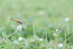 Dragon fly and grass flower Stock Images