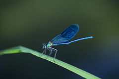 Dragon fly. On grass by the river Stock Photo