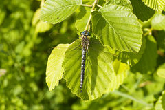 Dragon fly on a green leaf Stock Photos