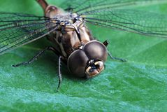 Dragon fly on green leaf. Macro of a dragon fly on green leaf royalty free stock photos