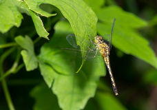 Dragon fly on the green leaf Royalty Free Stock Photography