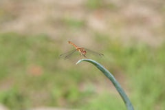 Dragon Fly on Green Onion Stem Stock Image