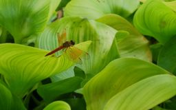 Dragon fly on green Water hyacinth leaves Stock Image