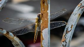 Dragon Fly in the grid of a window. A Dragon -Fly which landed on the grid of a window Royalty Free Stock Photos