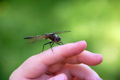 Dragon fly on a hand Stock Photography