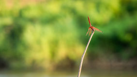 Dragon fly on a leaf. With blur background Royalty Free Stock Photography