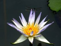 Dragon Fly, Lily, Flower, Bloom Royalty Free Stock Photos
