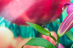 Dragon fly on the lily leaf Stock Photo