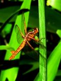 Dragon Fly. On lily of the Nile stem Stock Photo