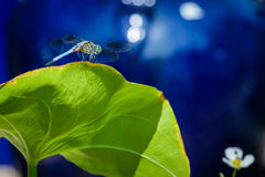 Dragon Fly on a Lily Pad Royalty Free Stock Image