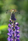 Dragon Fly on the Lupine flowers ( Lupinus polyphyllus ) Stock Image