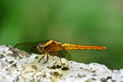 Dragon Fly Macro Royalty Free Stock Images