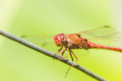 Dragon-fly. Macro photography of a dragonfly on a steel cable Stock Images